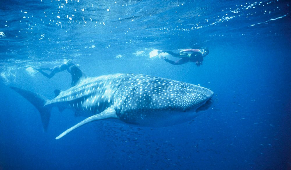 100 Things To Do Before You Die #007 Swim With Whale Sharks