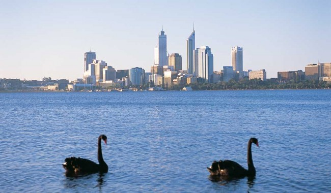 Black-Swans-in-Perth-City