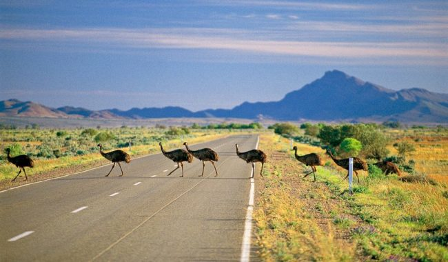 Emus crossing the road. Flinders Ranges, SA