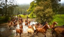 041 Horse mustering in Glenworth Valley, NSW