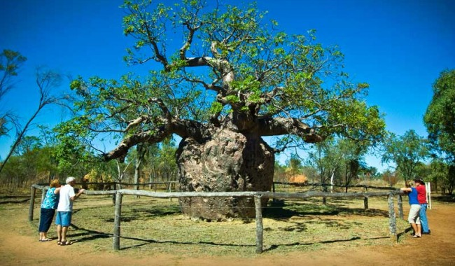 Boab's your uncle in the outback. Image by Tourism WA
