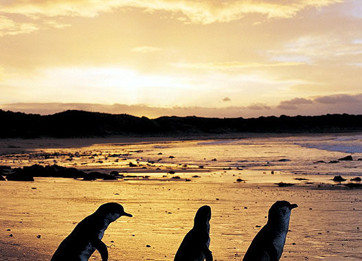 Visit the famous penguin parade from Phillip Island Caravan Park. Image by Tourism Vic