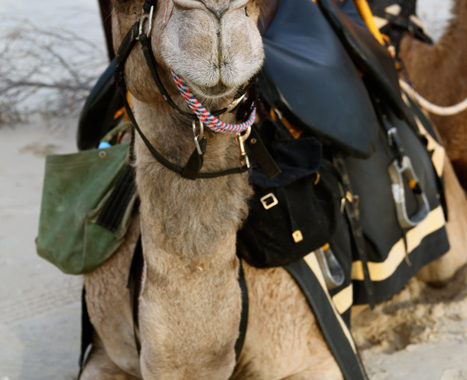 A happy Camel
