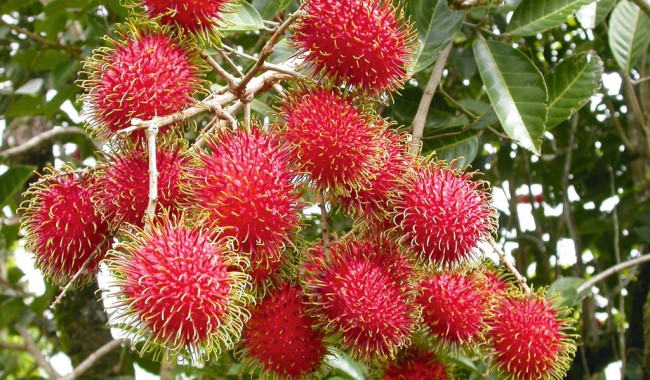 Rambutans on the Cassowary Coast