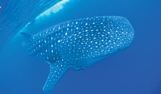 Coral-Bay-Whale-Sharks-custom-fields