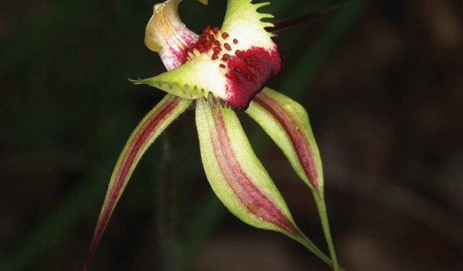 Diamond Spider Orchid