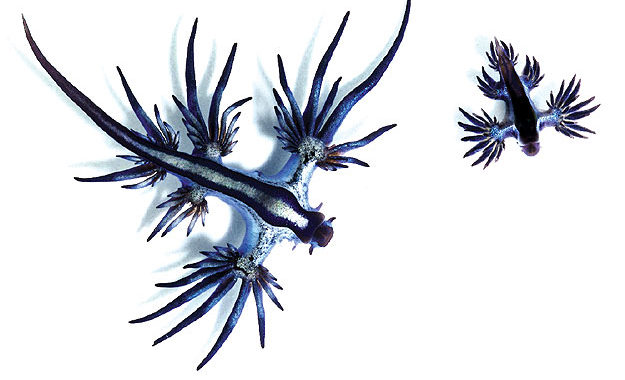 These incredible looking nudibranches (sea slugs) aren't stingers . . . but they do eat stingers – so treat them with the same level of respect, or reach for the vinegar. Image by Taro Taylor