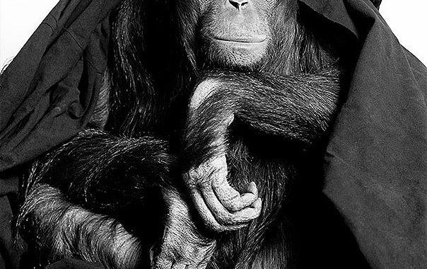 Orangutan from Gary Heery's ENDANGERED exhibition