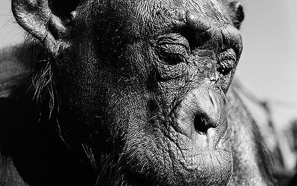 Chimpanzee from Gary Heery's ENDANGERED exhibition