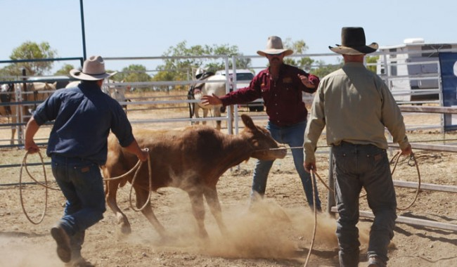 A calf is roped at the Drover's Camp Muster
