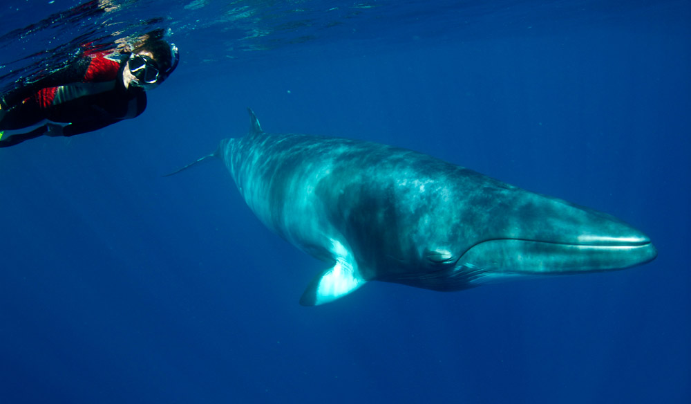 Swimming with minke whales in the Great Barrier Reef