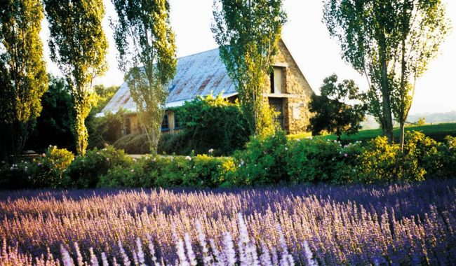Purple Haze: Lavandula Lavender Farm.