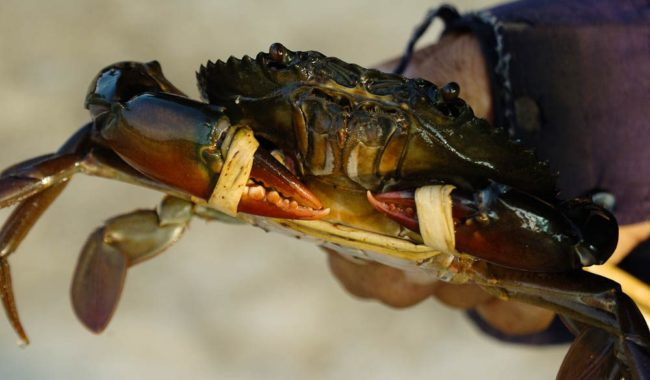 Tasty if you're a seafood fan, but beware the mud crab's nippers.