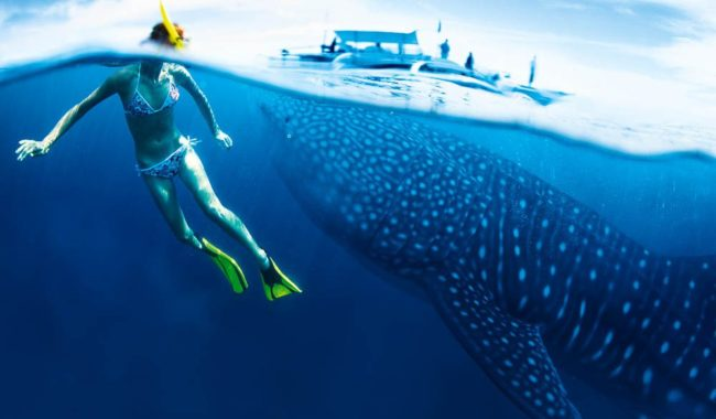 Lucky for us that Ningaloo's whale sharks are true gentle giants.